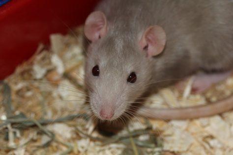 Empathetic Rats