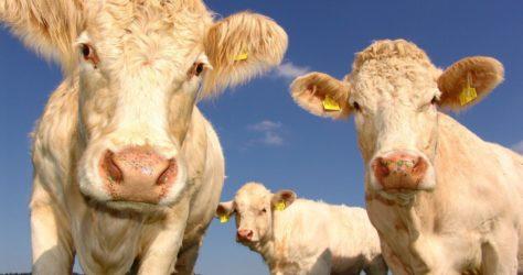 cows 1029077_1920